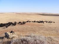 angus cattle breeding 7