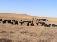 angus cattle breeding 8