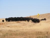 angus cattle breeding 9