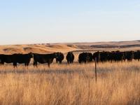 angus cattle breeding 11